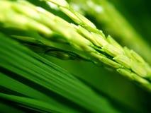 Arroz verde Imagen de archivo libre de regalías