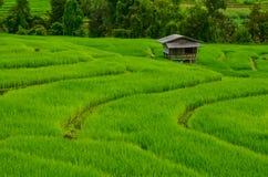 Arroz verde Imagem de Stock