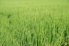 Arroz verde Fotografia de Stock