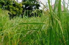 Arroz verde archivado Imagen de archivo libre de regalías