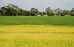 Arroz verde arquivado Fotografia de Stock