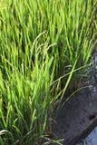 Arroz verde con el suelo fértil Fotografía de archivo libre de regalías