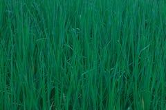 Arroz verde del campo de maíz Imagenes de archivo