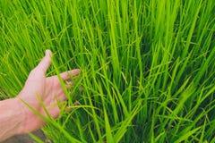 Arroz verde do campo com mão Imagens de Stock