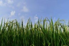 Arroz verde en el campo del arroz para el fondo de la naturaleza Imágenes de archivo libres de regalías