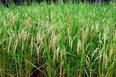 Arroz verde enorme Paddy Farm en la plena floración Imágenes de archivo libres de regalías