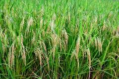Arroz verde enorme Paddy Farm en la plena floración Fotografía de archivo libre de regalías