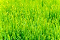 Arroz verde joven Foto de archivo libre de regalías