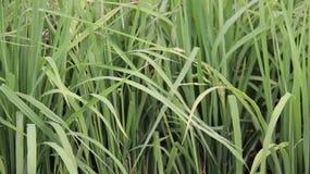 Arroz verde joven en campo del arroz fotografía de archivo libre de regalías