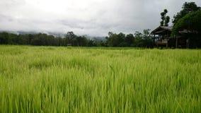 Arroz verde luxúria Imagem de Stock Royalty Free