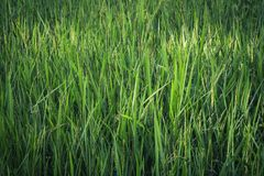 Arroz verde Paddy Farm Imagen de archivo