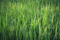 Arroz verde Paddy Farm Foto de archivo libre de regalías