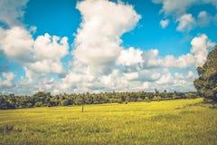 Arroz verde Paddy Farm Fotografía de archivo