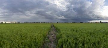 Arroz y cielo de las tierras de labrantío Foto de archivo libre de regalías