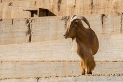 Arrui also known as Barbary Sheep stock photo