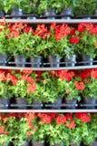 Arsenal de flores rojas del pote en estantes Imagen de archivo libre de regalías