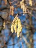 arsenal hermoso de amentos de la ejecución en el cielo desnudo del árbol de la rama en primavera Imágenes de archivo libres de regalías