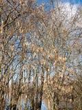 arsenal hermoso de amentos de la ejecución en el cielo desnudo del árbol de la rama en primavera Imagen de archivo libre de regalías