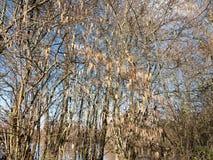 arsenal hermoso de amentos de la ejecución en el cielo desnudo del árbol de la rama en primavera Fotografía de archivo