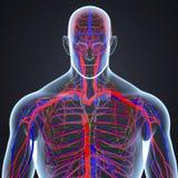 Artär-, åder- och lymfaknutpunkter i senare sikt för människokropp stock illustrationer