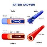 Artär och åder vektor illustrationer