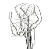 Artérias da cabeça e do cérebro do raio X Fotos de Stock
