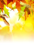 Art abstract autumn background. Autumn background with yellow leaves of autumn  tree lit by the sun Royalty Free Stock Image