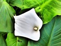 Art Of The Arum Lily II imágenes de archivo libres de regalías