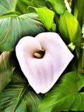 Art Of The Arum Lily III imagenes de archivo