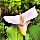 Art Of The Arum Lily IX imágenes de archivo libres de regalías