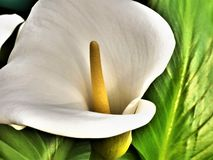 Art Of The Arum Lily VI imagen de archivo libre de regalías
