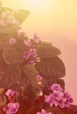 Art Background with  African Violet Royalty Free Stock Images