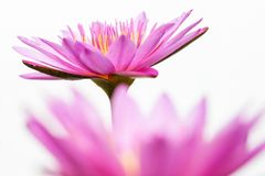 Pink lotus flower on white background. Art of beautiful pink lotus flower nature abstract blur on white background royalty free stock images