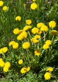 Art Beautiful spring flowers background. Yellow dandelion flowers with  leaves in green grass, spring photo Stock Photography