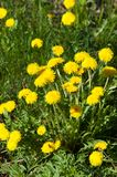 Dandelion. Art Beautiful spring flowers background. Yellow dandelion flowers with leaves in green grass, spring photo royalty free stock image