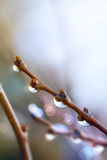 Art beautiful spring tree branch with rain drops Stock Photography