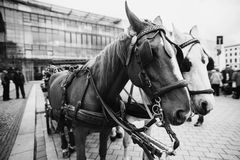 Art black and white photography. Travel to Germany. A walk along the center of Berlin. Beautiful horse harnessed to a cart stock photo