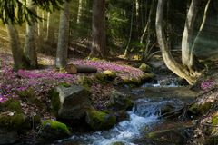 Blooming spring forest; Mountain stream and spring flowers Stock Photos