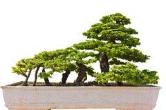 The art of bonsai. The art of bonsai in the park Stock Photo