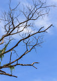 Art from branches of dead tree. Isolate on blue sky Stock Photos