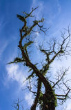 Art from branches of dead tree. Isolate on blue sky Royalty Free Stock Photography