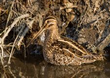 Art of camouflage. Common snipe stands on the water stock images