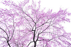 Art Cherry blossom Stock Images