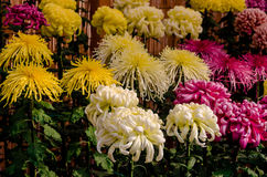 Art of chrysanthemum gardener, Kyoto Japan Stock Photo