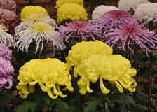 Art of chrysanthemum, Kyoto Japan. Stock Photo