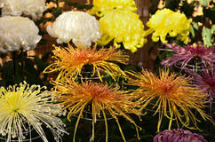 The art of chrysanthemum, traditional three-piece display Kyoto Japan. Stock Photos