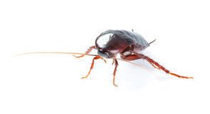 Art Cockroach bug  isolated on white background Royalty Free Stock Photo