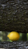 Art composition with lemon under tree Royalty Free Stock Image