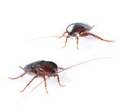Art couple Cockroach bug on white Stock Photo