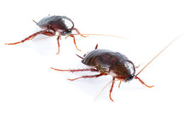 Art couple Cockroach bug   on white Stock Photos